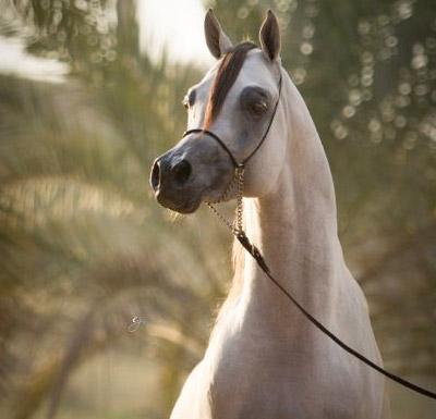 Stallions Purebred